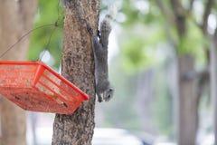 Consommation de l'écureuil Images libres de droits