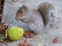 Consommation de l'écureuil Photo stock