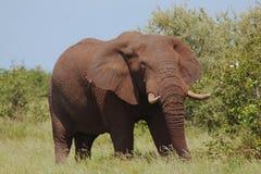 Consommation de l'éléphant Photographie stock