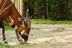 Consommation de l'antilope de bongo photos libres de droits