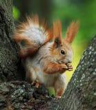 consommation de l'arbre d'écureuil d'emplacement de noix Photo stock