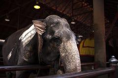 consommation de l'Asie d'éléphant Photographie stock libre de droits