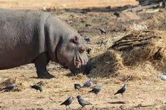 Consommation de l'hippopotame Photographie stock
