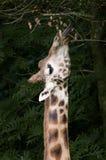 Consommation de la giraffe Image stock