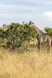 Consommation de la giraffe Photographie stock