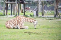 Consommation de la giraffe Images libres de droits