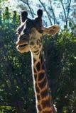 Consommation de la giraffe photo libre de droits