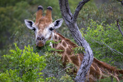 Consommation de la giraffe Photographie stock libre de droits