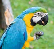 consommation de la noix de macaw Photographie stock