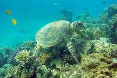Consommation de la tortue de mer images libres de droits