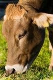 Consommation de la vache Image libre de droits