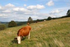 Consommation de la vache Images libres de droits