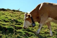 Consommation de la vache Photographie stock libre de droits