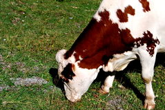 Consommation de la vache Photographie stock