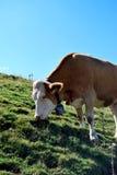 Consommation de la vache Photo stock