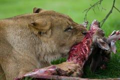 Consommation de lion photographie stock