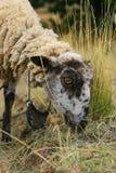 Consommation de moutons Photographie stock