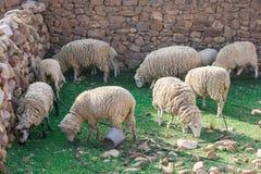 Consommation de moutons Image libre de droits