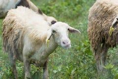 Consommation de moutons Images stock