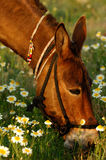 Consommation de mule Images stock