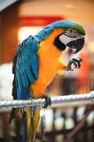Consommation de noyaux de perroquets Photo libre de droits