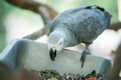 Consommation de perroquet Photo stock