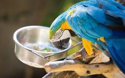 Consommation de perroquet d'ara Image libre de droits