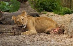 Consommation de petit animal de lion Photo libre de droits
