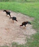 Consommation de poulets Image stock