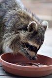 Consommation de raton laveur Images stock