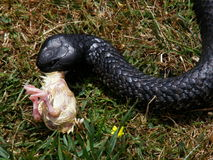 Consommation de serpent Image stock