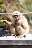 Consommation de singe Photo libre de droits