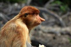 Consommation de singe de buse photos libres de droits