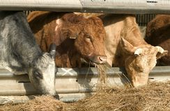 Consommation de trois vaches Image libre de droits