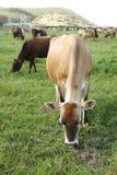 Consommation de vaches Image stock