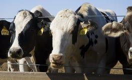 Consommation de vaches Photo libre de droits