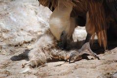 Consommation de vautour Image libre de droits