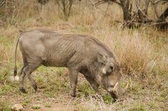 Consommation de Warthog photos stock
