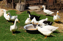 Consommation des canards Image stock