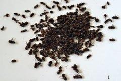 Consommation des fourmis Images stock