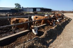 Consommation des vaches Images stock