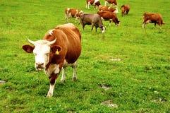 Consommation des vaches Photo libre de droits