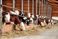 Consommation des vaches Images libres de droits