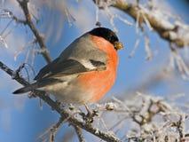 Consommation du Bullfinch sur l'arbre Photo libre de droits