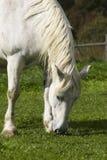 Consommation du cheval Image libre de droits