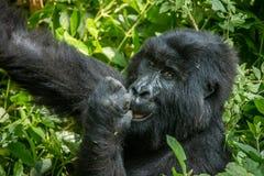 Consommation du gorille de montagne images stock