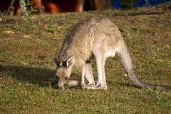 Consommation du kangourou Photos stock