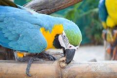 Consommation du perroquet Photo libre de droits