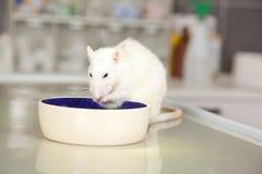 Consommation du rat sur la table d'opération au vétérinaire Photos libres de droits