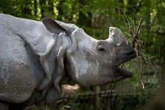 Consommation du rhinocéros dans le zoo Images stock